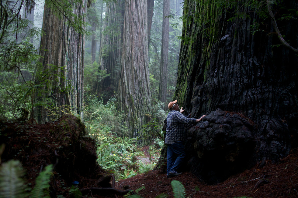 David Milarch and Giant Redwoods