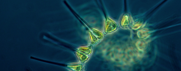 Phytoplankton is the base of several aquatic food webs