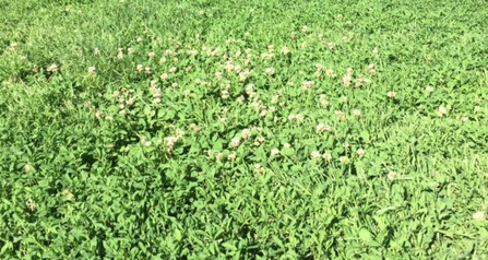 "regular ""Dutch"" White Clover"