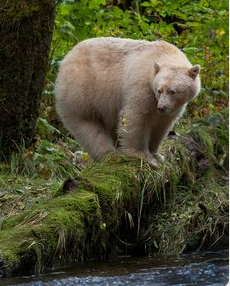 Kermode, or SPIRIT-Bear in the Great-Bear Rainforest