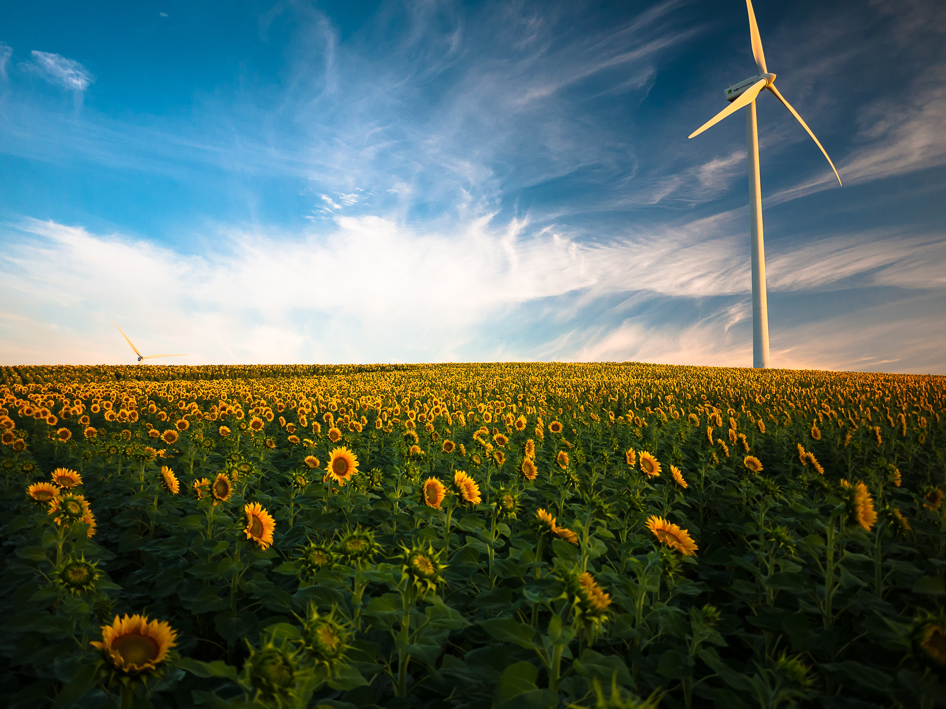 sunflower:turbine field