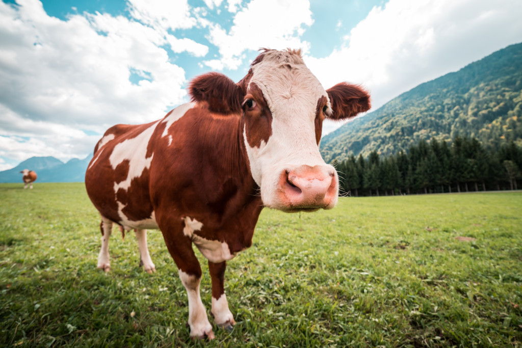 brown-and-white-cow-in-pasture-picjumbo-com