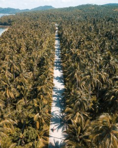 coconut-forest